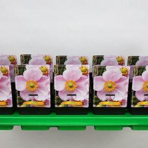 Anemone x hybrida 'Loreley'