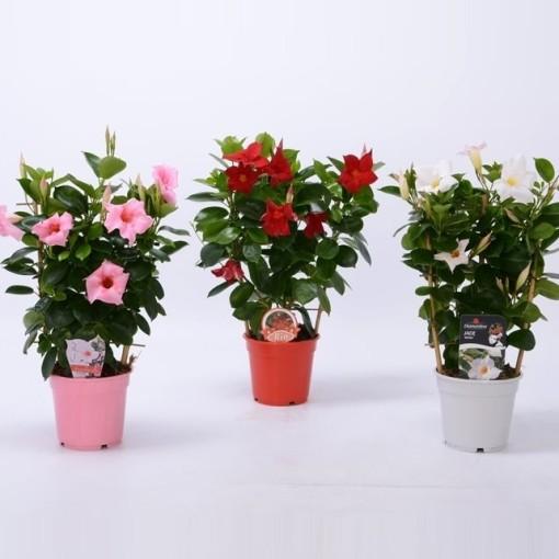 Mandevilla MIX (Bunnik Plants)