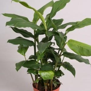 Elettaria cardamomum (Handelskwekerij van der Velden)