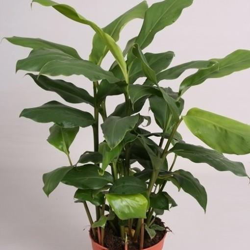 Elettaria cardamomum (van der Velden, Hkw.)