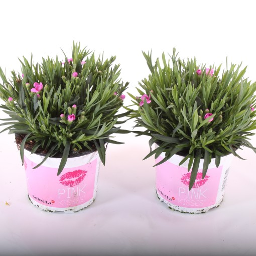 Dianthus PINK KISSES (Experts in Green)