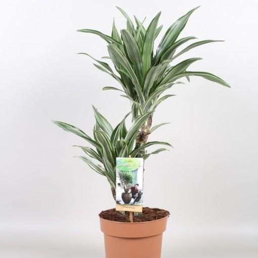 Dracaena fragrans 'Ulises' (Vireõ Plant Sales)