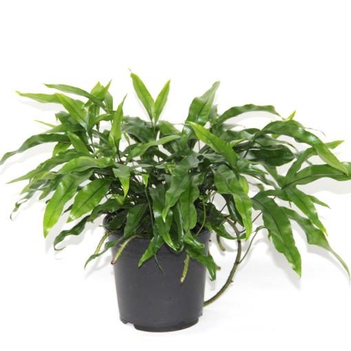 Microsorum diversifolium (Gasa DK)