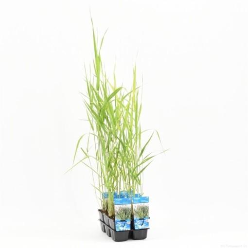 Phragmites australis (Moerings Waterplanten)