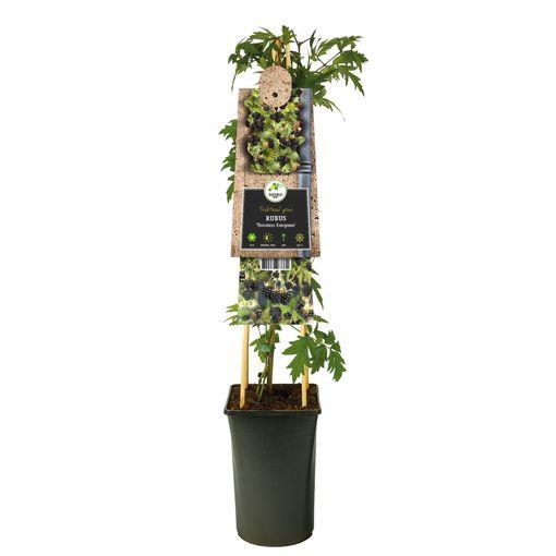 Rubus fruticosus 'Thornless Evergreen' (Van Der Starre BV)
