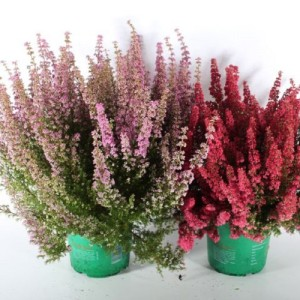 Erica gracilis BEAUTY QUEEN MIX (Experts in Green)