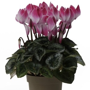 Cyclamen persicum 'Tianis Funflame' (OK Plant)