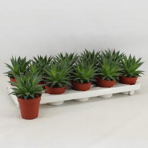 Aloe aristata (Amstelzicht BV)