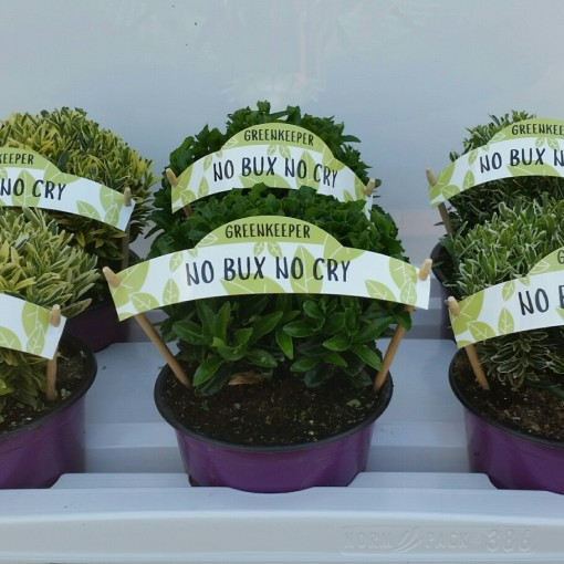 Euonymus japonicus MIX (Experts in Green)