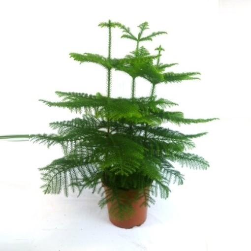 Araucaria heterophylla (JK Plant)