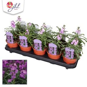 Erysimum linifolium SUPER BOWL MAUVE
