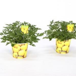 Pelargonium citrosum (Bunnik Plants)