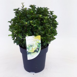 Ilex x meserveae 'Little Sensation'
