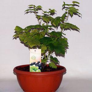 Vitis vinifera (BOGREEN Outdoor Plants)