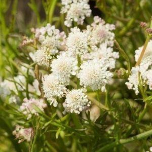 Oenanthe aquatica (Moerings Waterplanten)