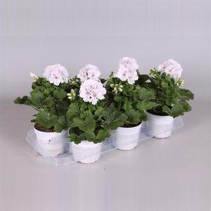 Pelargonium 'Mona Lisa' (Adrichem Potplanten)