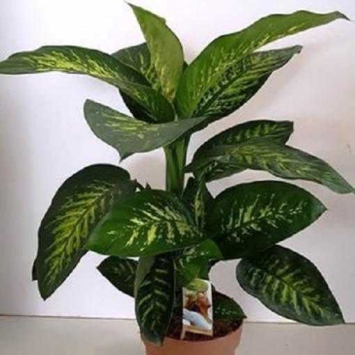 Dieffenbachia seguine 'Tropic Snow' (Vireõ Plant Sales)