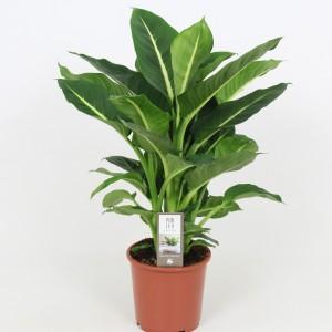 Dieffenbachia 'Green Magic' (Elstgeest)