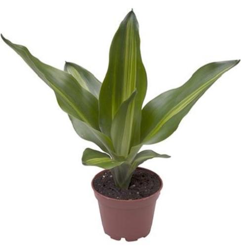 Dracaena fragrans (Gasa DK)