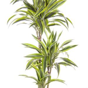 Dracaena fragrans 'Lemon Lime' (Ammerlaan )