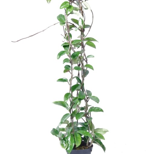 Hoya carnosa 'Krimson Queen' (Van der Arend Tropical Plantcenter)