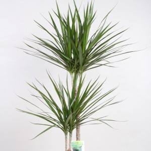 Dracaena marginata (Vireo Plant Sales)
