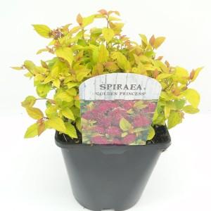 Spiraea japonica 'Golden Princess' (Hooftman boomkwekerij)