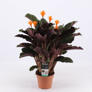 Calathea crocata 'Candela' (Kwekerij Montis Zuidplas B.V.)