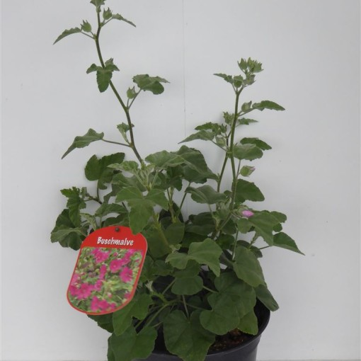 Lavatera MIX (Experts in Green)