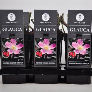 Rosa glauca (Lakei Boomkwekerijen)