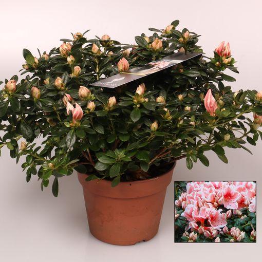 Rhododendron 'Mevr. Gerard Kint' (FlorAmor)