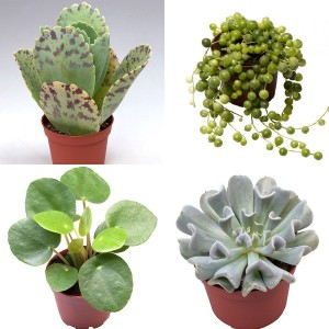 FA Succulents SELECTION #254