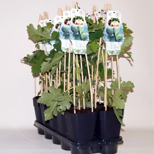 Ficus carica 'Icecristal' (BOGREEN Outdoor Plants)