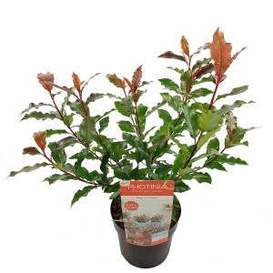 Photinia MAGICAL VOLCANO
