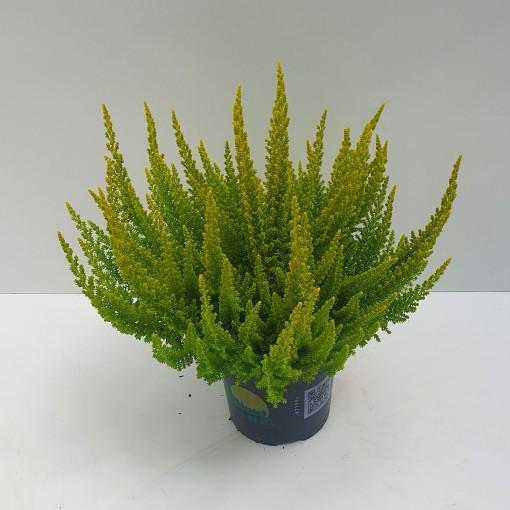 Calluna vulgaris SKYLINE BARCELONA (Experts in Green)