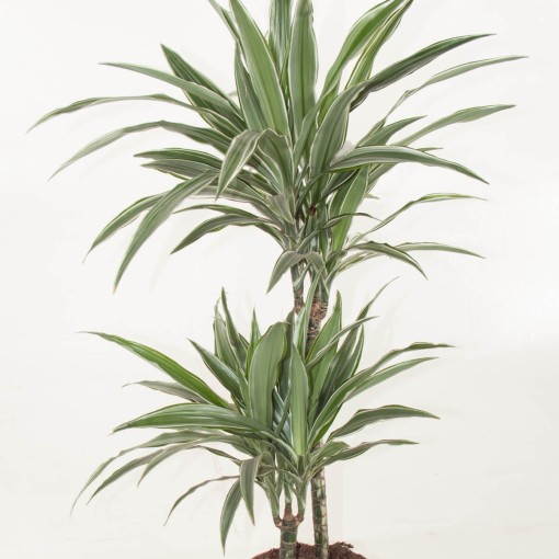 Dracaena fragrans 'Warneckei' (Ammerlaan, The Green Innovater)
