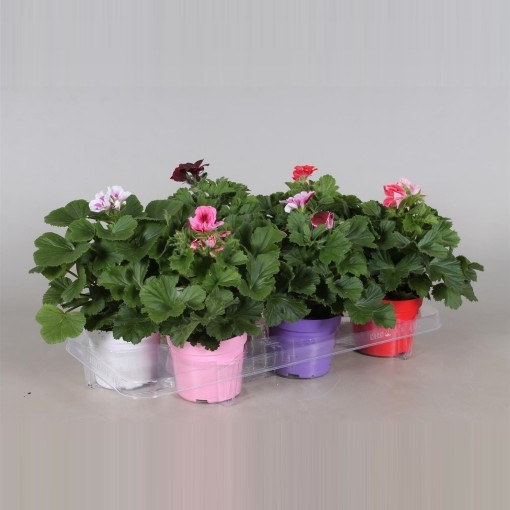 Pelargonium GRANDIFLORUM MIX (Adrichem Potplanten)