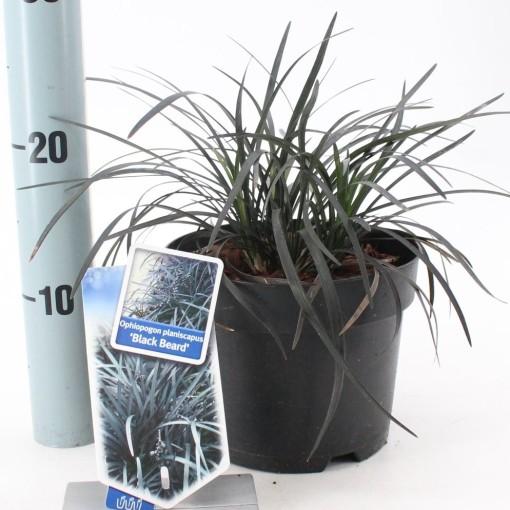 Ophiopogon planiscapus 'Black Beard' (About Plants Zundert BV)