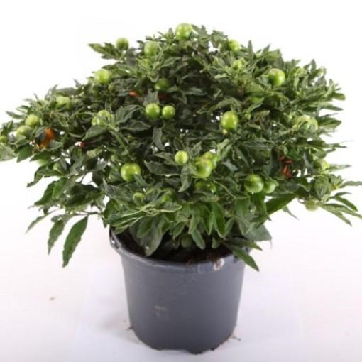 Solanum pseudocapsicum 'Mandarin' (Experts in Green)