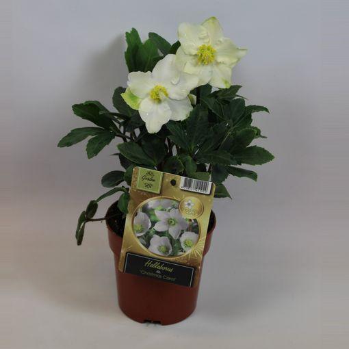 Helleborus niger 'Christmas Carol' (Rijnbeek Boomkwekerijen B.V.)