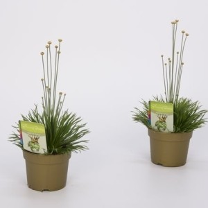 Syngonanthus chrysanthus 'Mikado' (Bunnik Plants)
