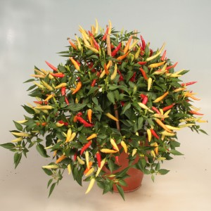 Capsicum annuum 'Basket of Fire'