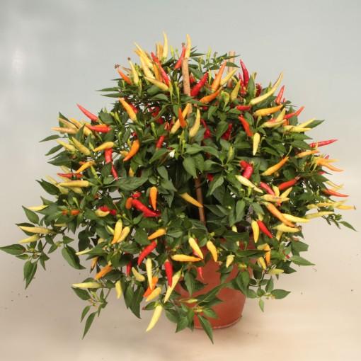 Capsicum annuum 'Basket of Fire' (Gasa DK)