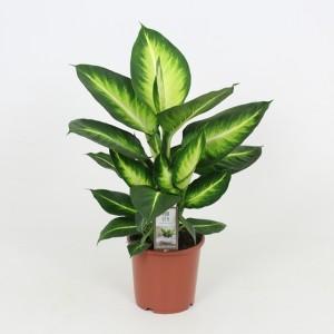 Dieffenbachia 'White Flame'