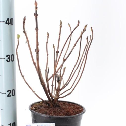 Hydrangea macrophylla 'Nikko Blue' (About Plants Zundert BV)