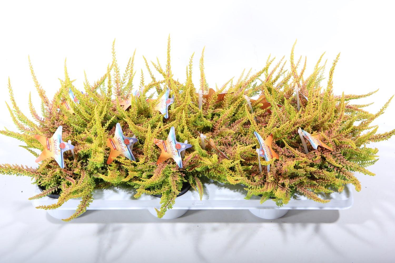 Calluna vulgaris BEAUTY LADIES SEASTAR (T9,5 cm H10 cm