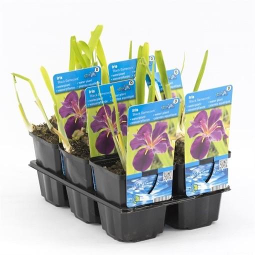 Iris 'Black Gamecock' (Moerings Waterplanten)
