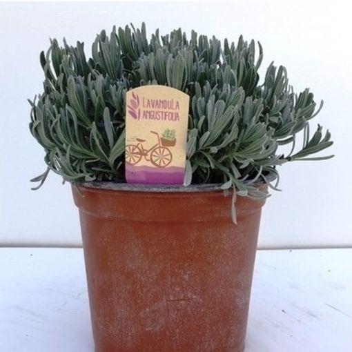 Lavandula angustifolia (Green Collect Sales)