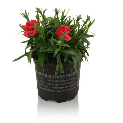 Dianthus OSCAR RED (Adrichem Potplanten)