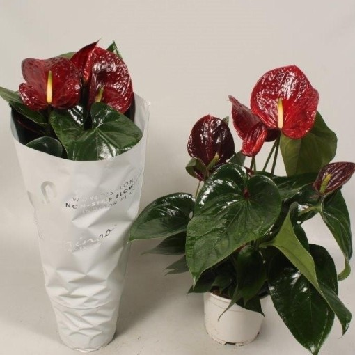 Anthurium 'Flamingo Brown' (Flamingo Plant)